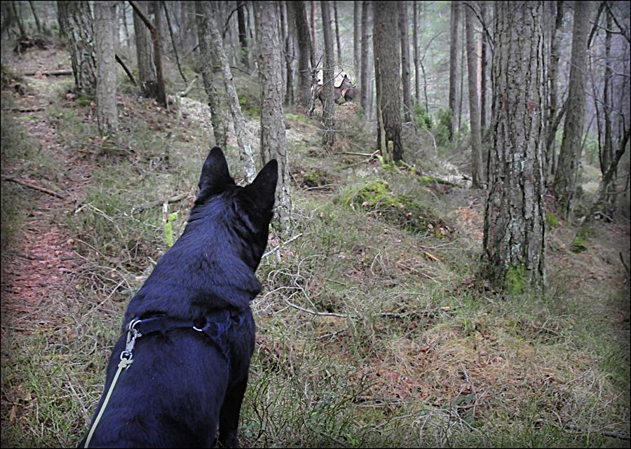 Jakt med bandhund – den lydlause jakta. (Foto: Atle Helland)