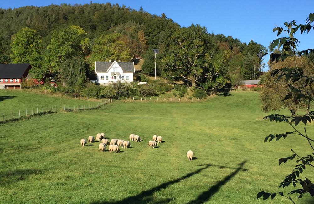 Dei slapp unna fårikålgrytene i denne omgang desse sauene, som her beitar på heimebøen i Bognes på Husnes.