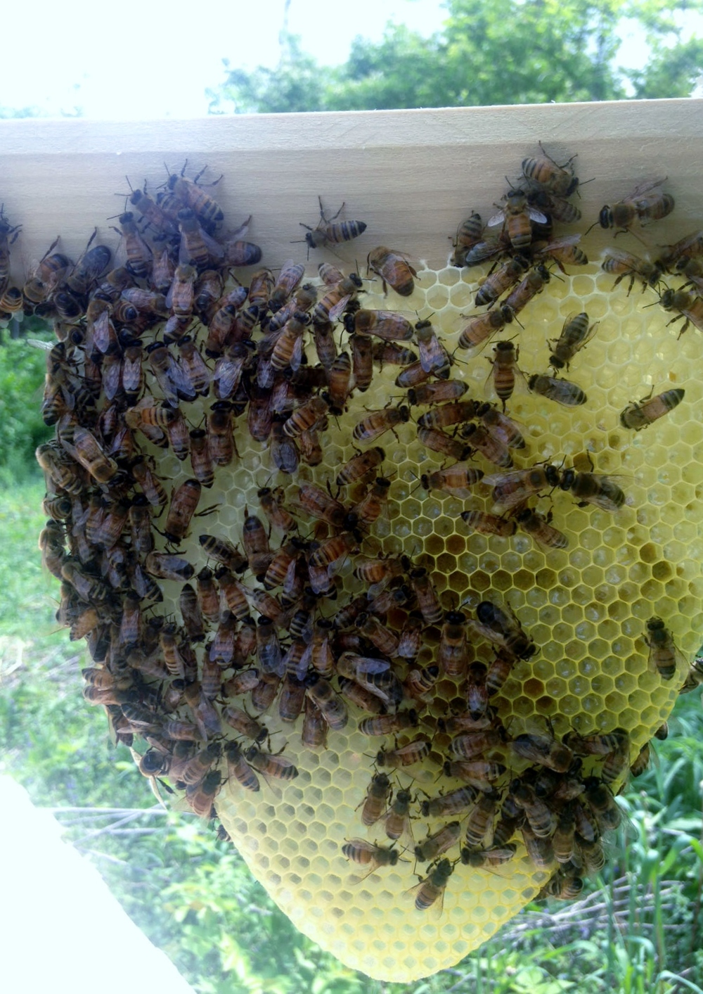 A close-up of the new comb on day 7. Yes, our bees did that.