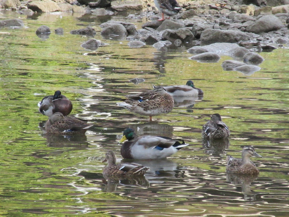 """""""There are so many ducks in my entire neighbourhood area and they're great because people can't be upset when there's ducks around. They feed them and giggle."""""""