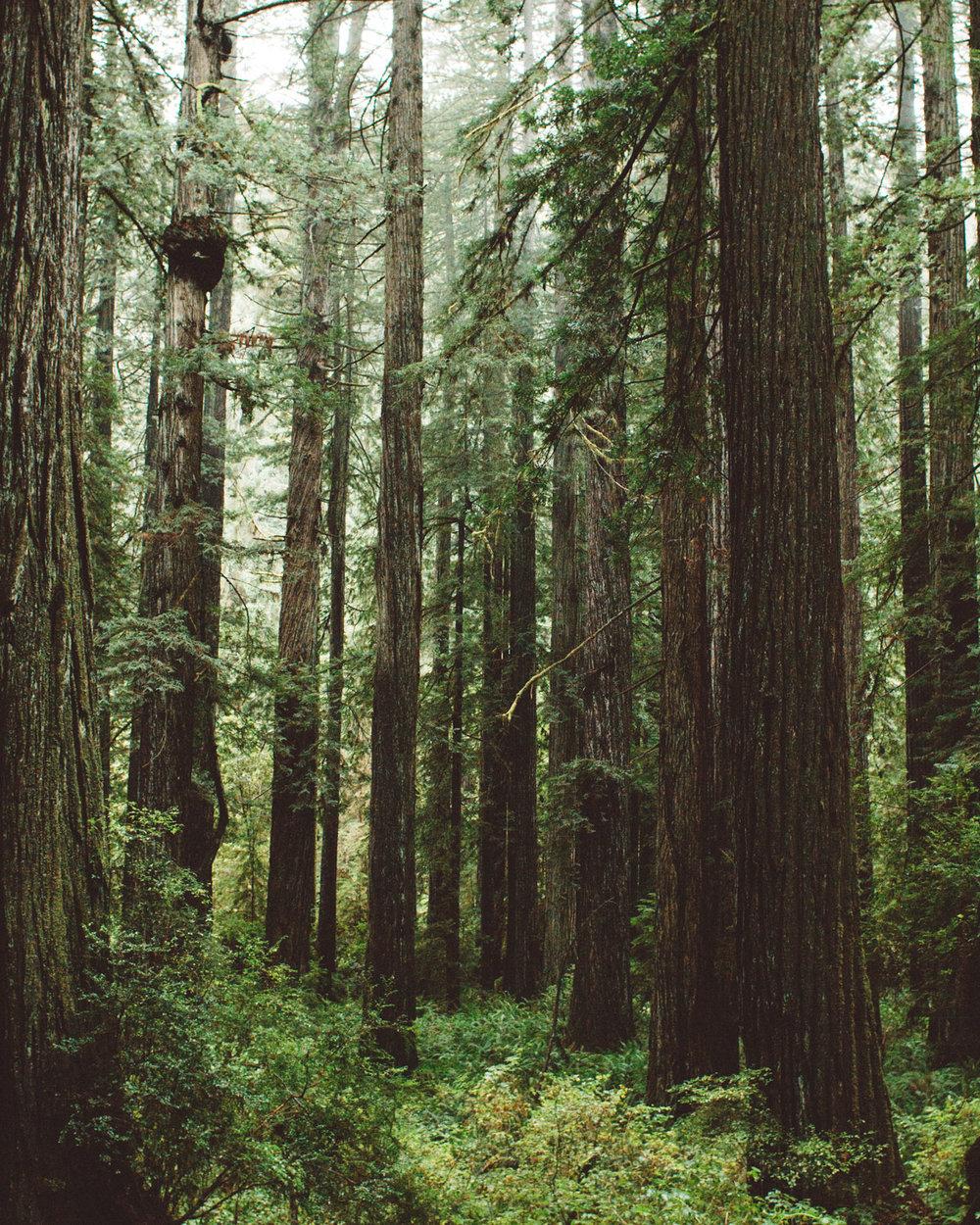 redwoods-01.jpg