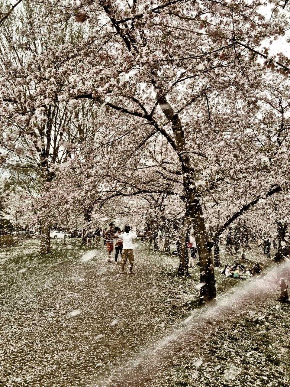 130411, cherry blossom snow.