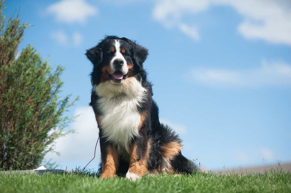 OtisBerneseMountainDog