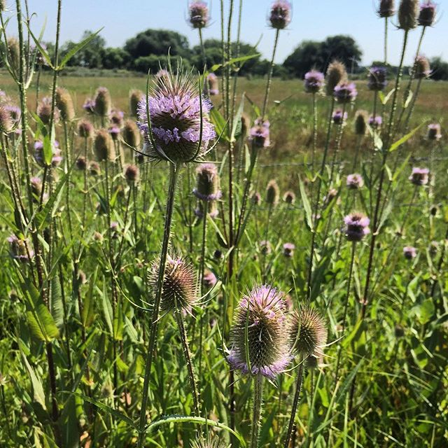 Beautiful Mother Nature #mothernature #color #outdoors #thistle #thistles