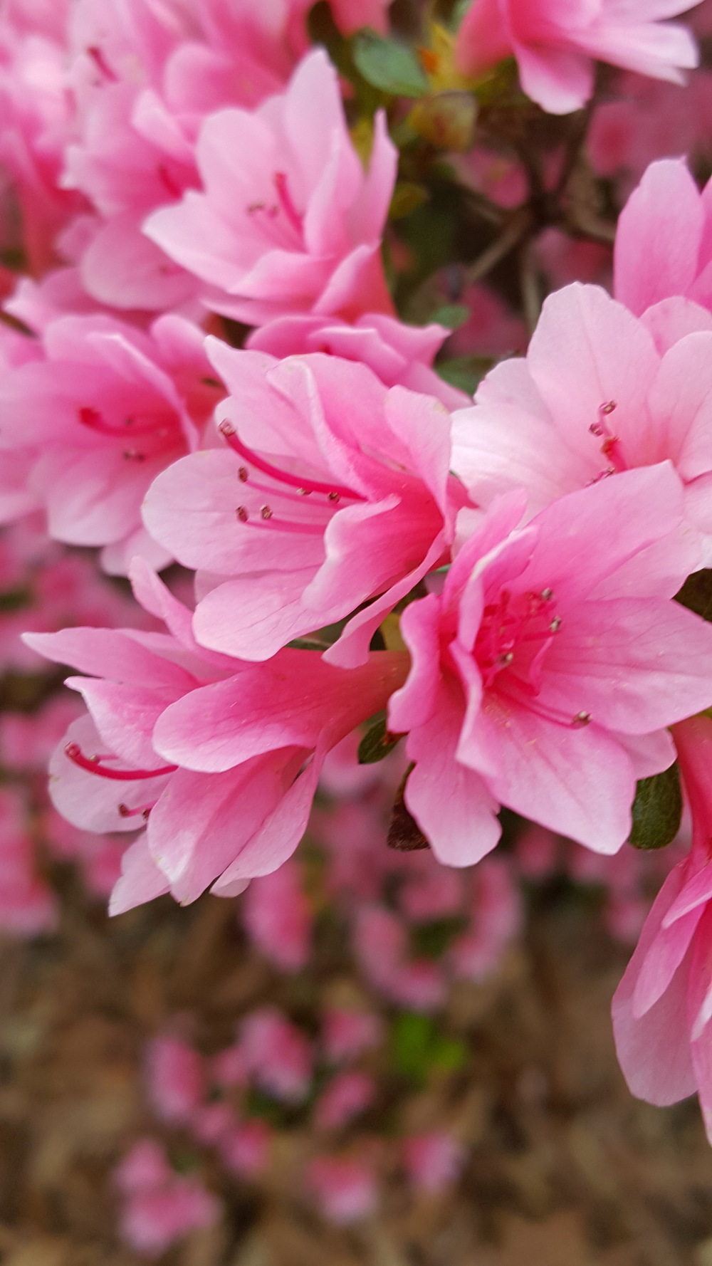 Pink Azaleas Abloom
