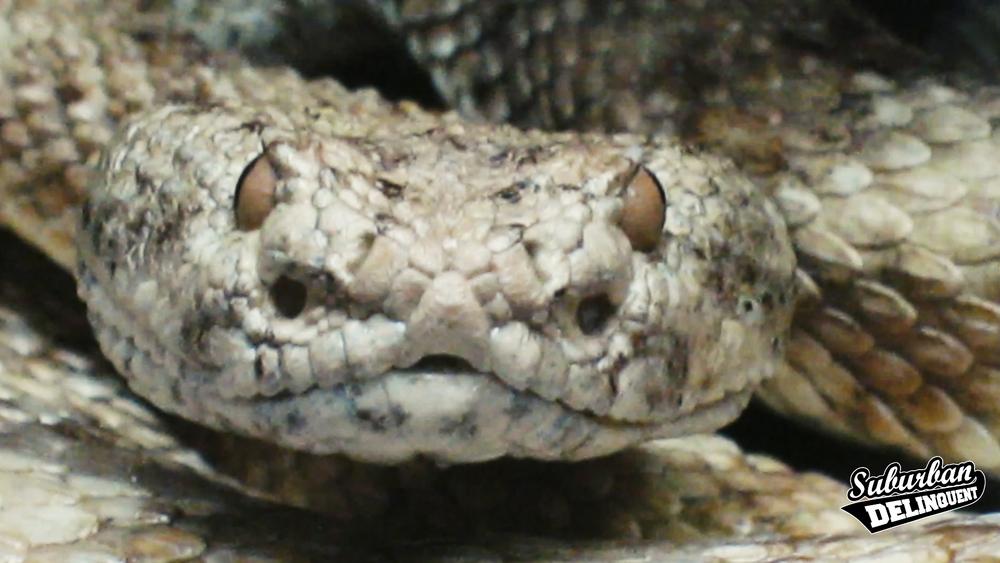 rattlesnake-san-bernardino.jpg