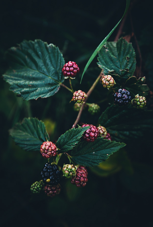blackberriesn2_0597.jpg