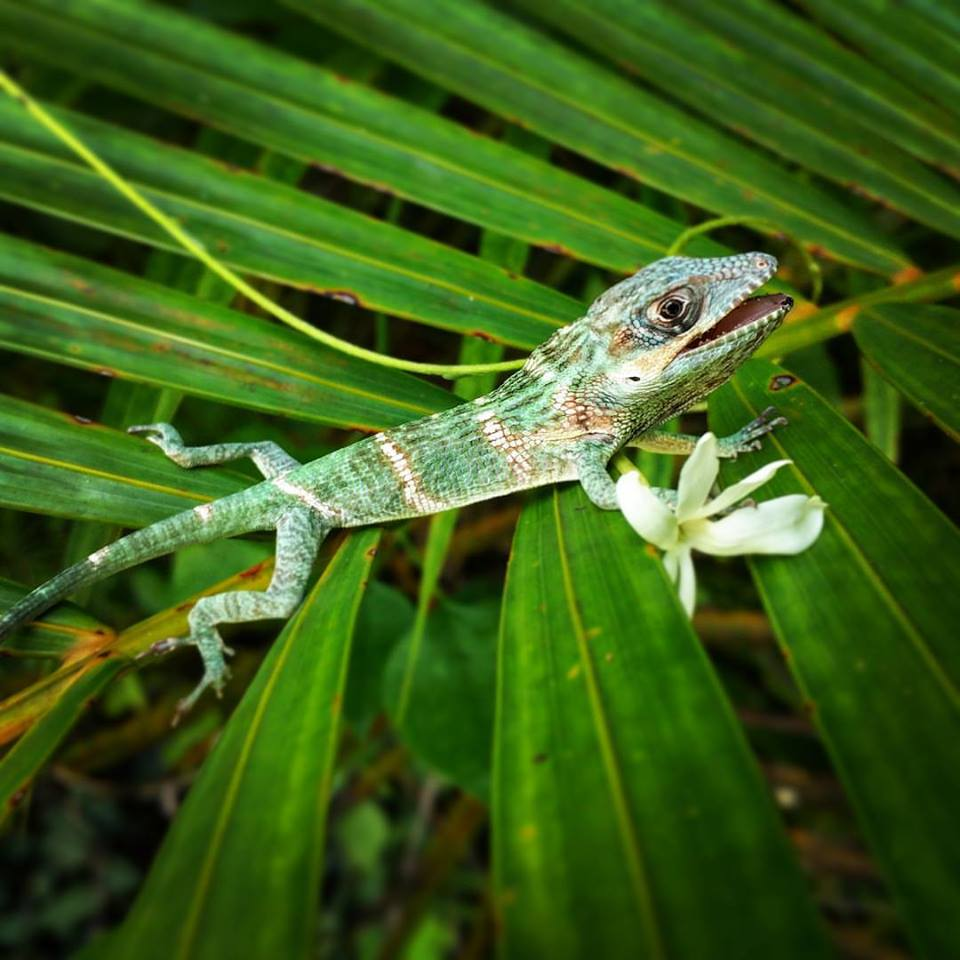 Anolis Equestris | South Miami, Florida