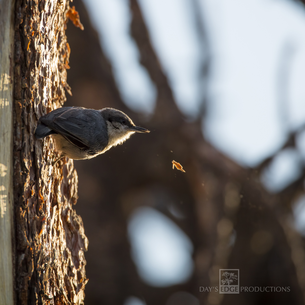 Pygmy Nuthatch | Flagstaff Mountain, Colorado