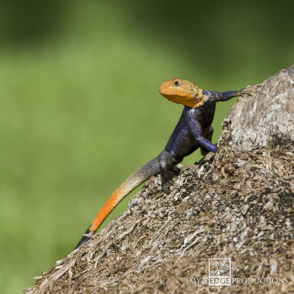Common Agama | South Florida