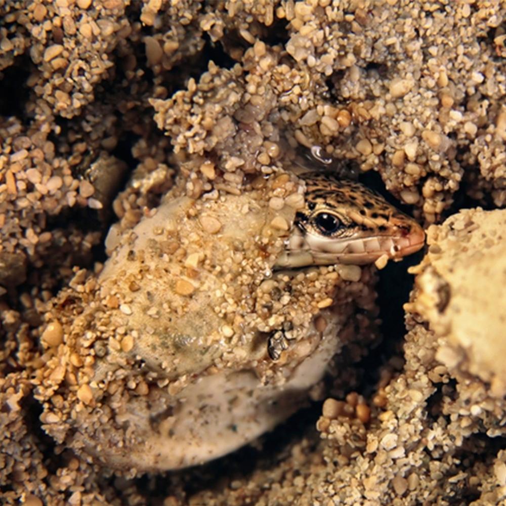 Baby Ibiza Wall Lizard | Formentera, Spain