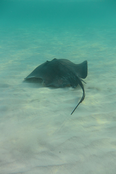 STINGRAY SANDBAR GRAND CAYMAN