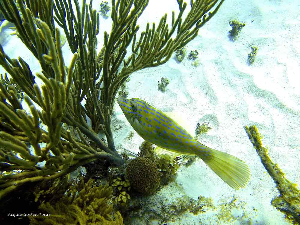 The Scrawled Filefish