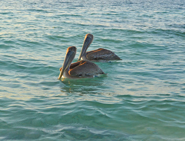 Two of the Brown Pelicans spotted at Starfish Point in Grand Cayman