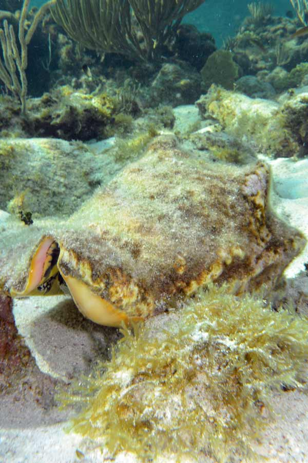 Conch Shell in Grand Cayman