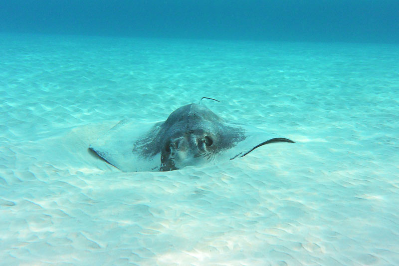 One very pregnant stingray burying herself at the Sandbar in Grand Cayman
