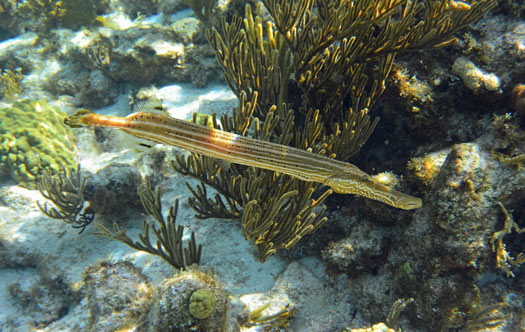 Trumpet fish found along the Reef during the snorkel stop