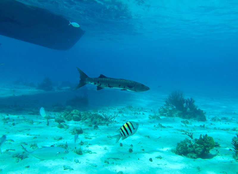 A very large Barracuda lazily swims through our snorkel crowd at the Coral Garden in Grand Cayman