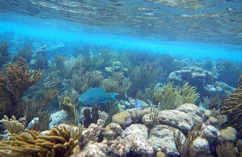 A symphony of blues - Parrot Fish, Blue Tangs, coral and Caribbean Ocean - Grand Cayman