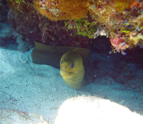 "And here ""she"" is ... the new younger Moray Eel found at the Reef - Captain Mario put her at approximately 4 feet and possibly 2 years of age - ain't she a beaut? The crew have not yet named her."