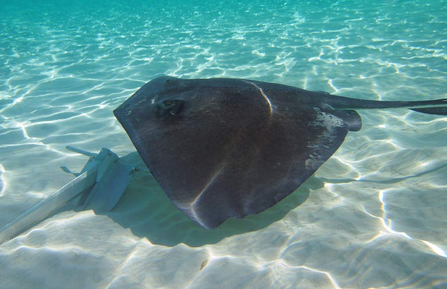 Stingray and anchor at the Sandbar in Grand Cayman