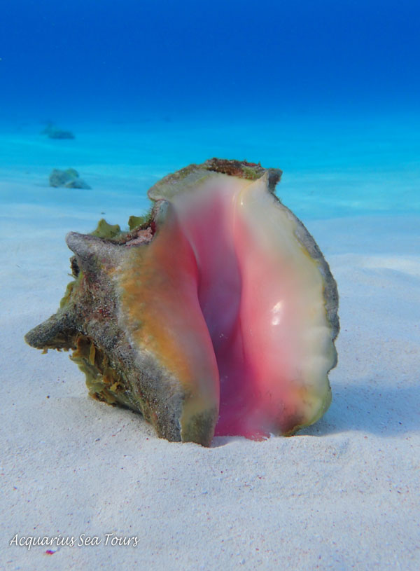 A beautiful conch shell at  Stingray City  in Grand Cayman