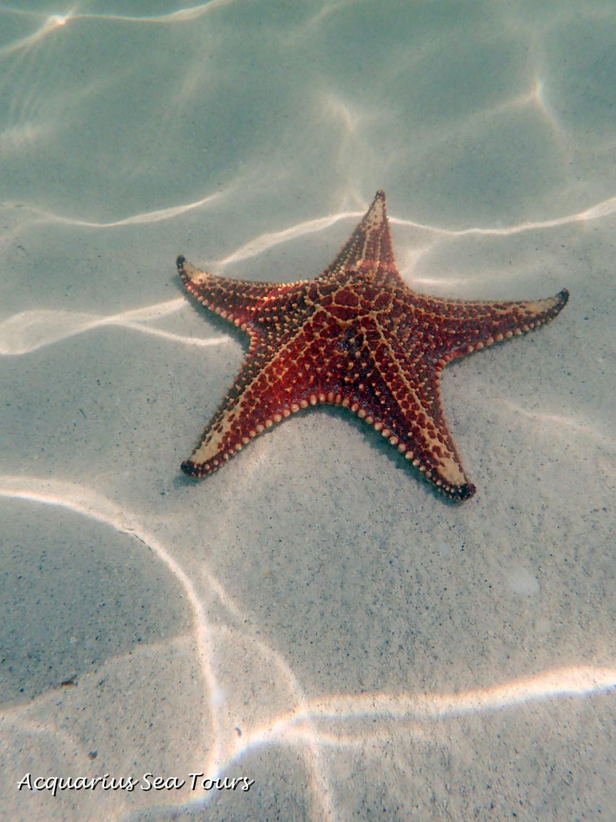 Caribbean Cushion Sea Star at Starfish Point in Grand Cayman