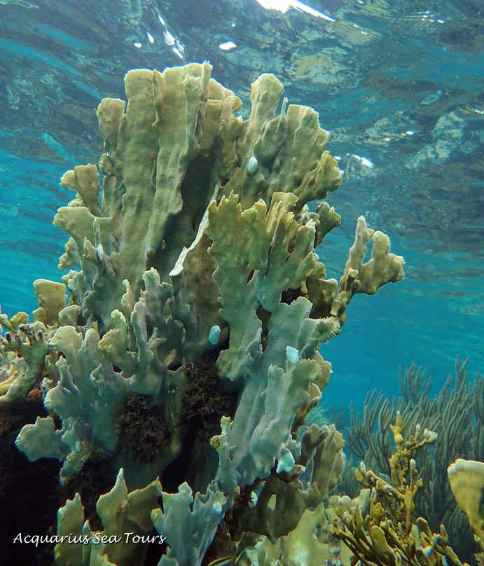 Fire coral at the reef in Grand Cayman