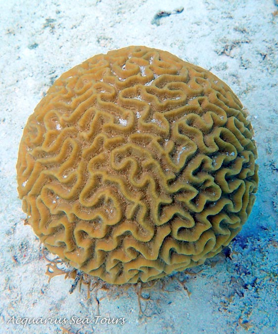 Brain coral - Grand Cayman