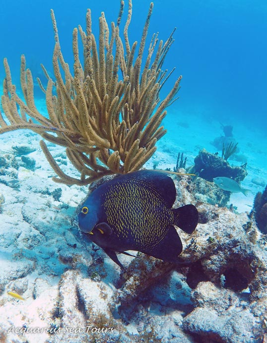French Angelfish against Corky Sea Fingers