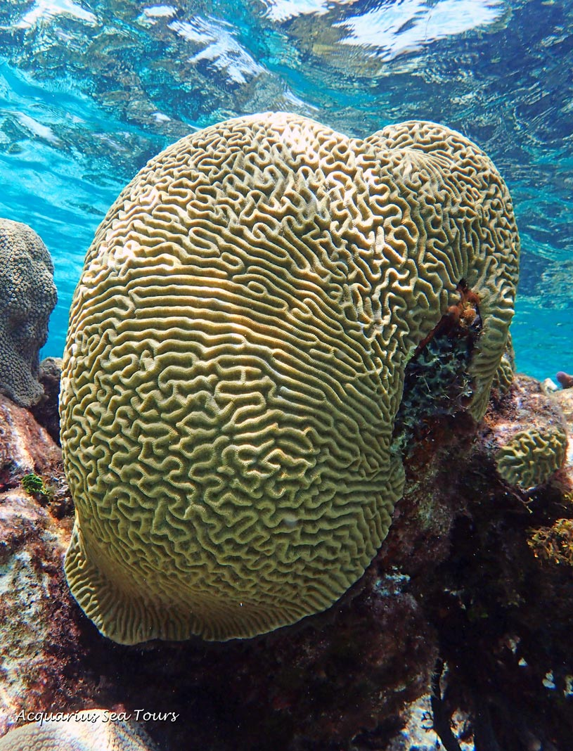 Incredible Brain Coral along Grand Cayman's barrier reef