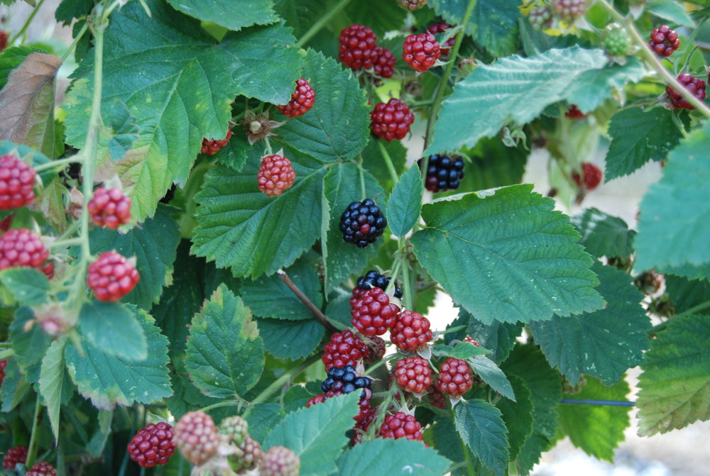 Lots of juicy blackberries to be had.