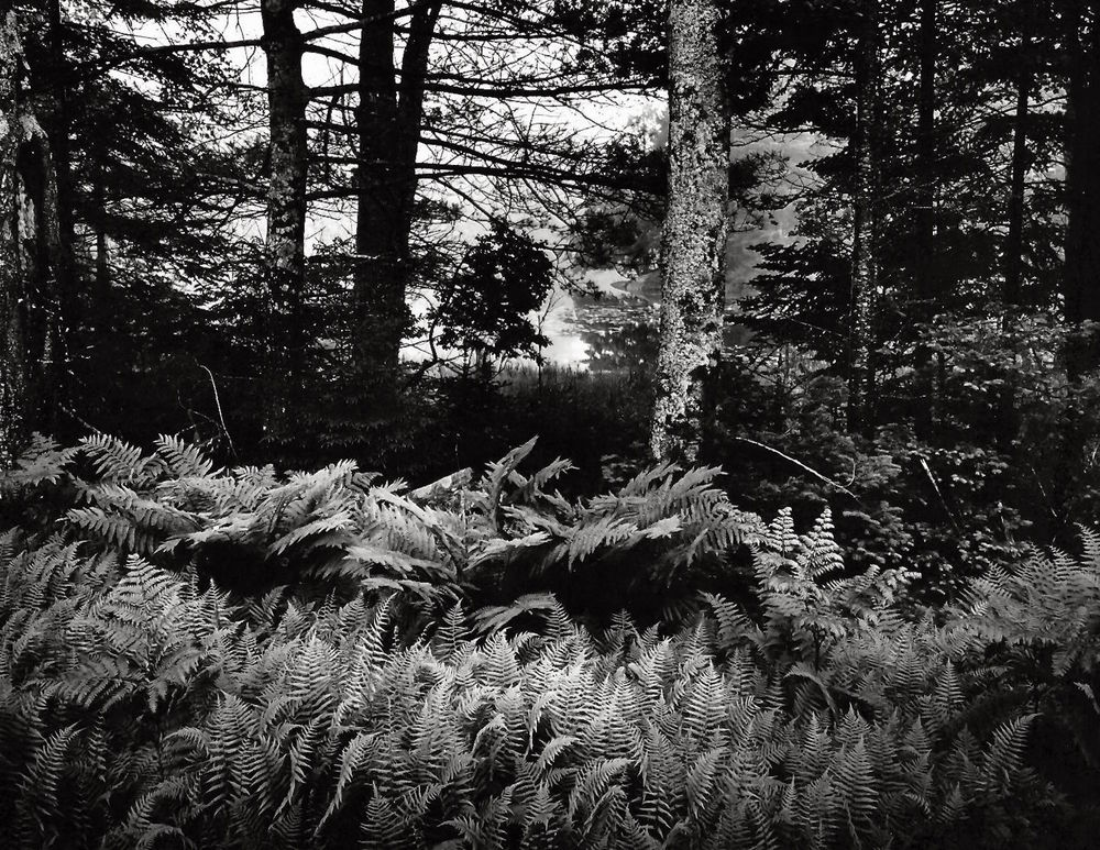 Ferns in fog, wild pond, Georgetown Island, Maine 2012