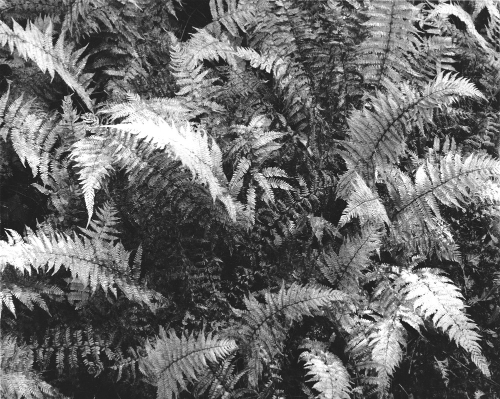 Print detail, hay-scented ferns, autumn, Adirondack Mountains 2011
