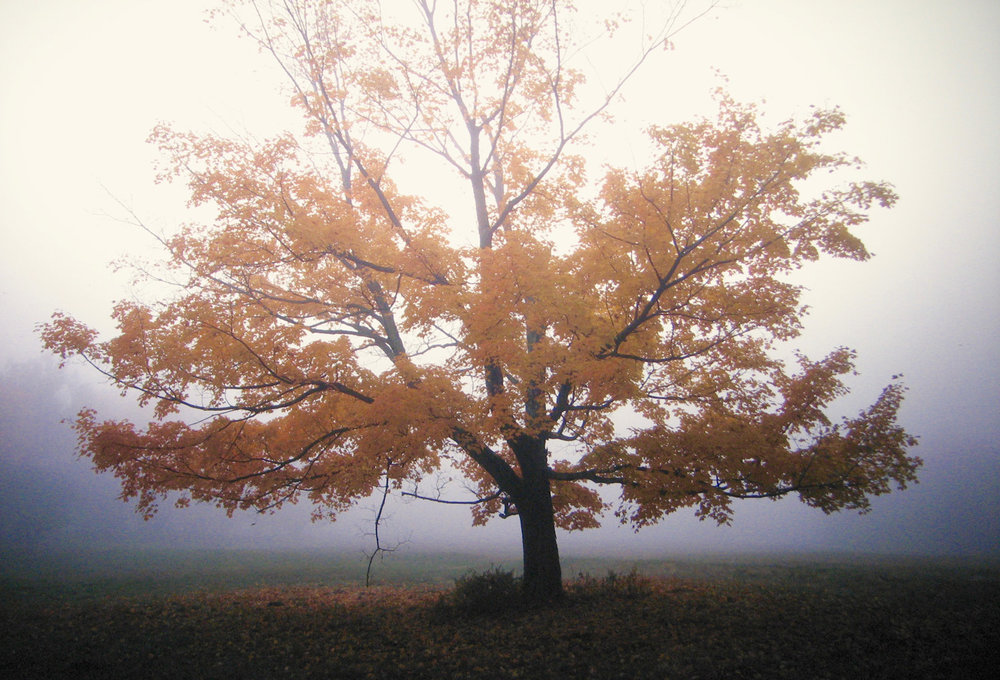 Autumn maple film photography