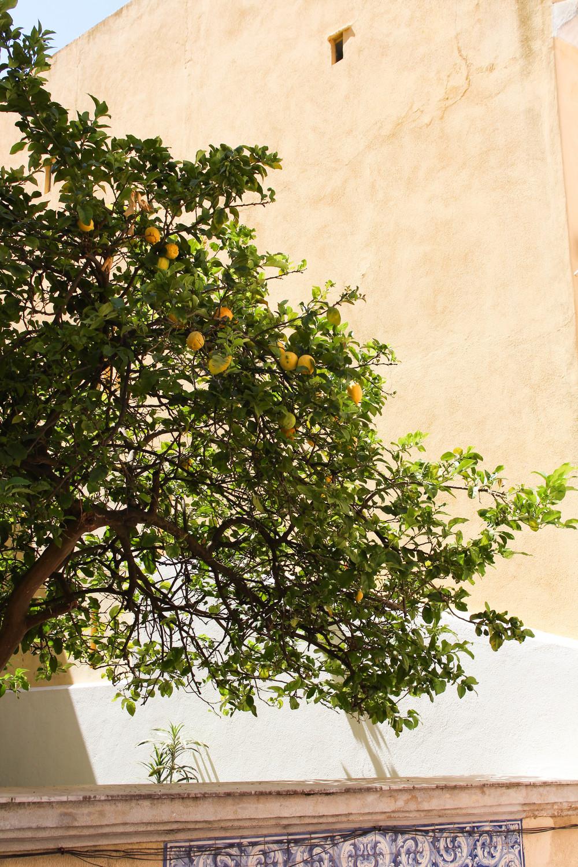 A Yellow Lemon Tree in Lisbon