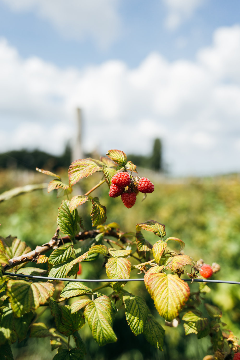 Berry picking in Amsterdam