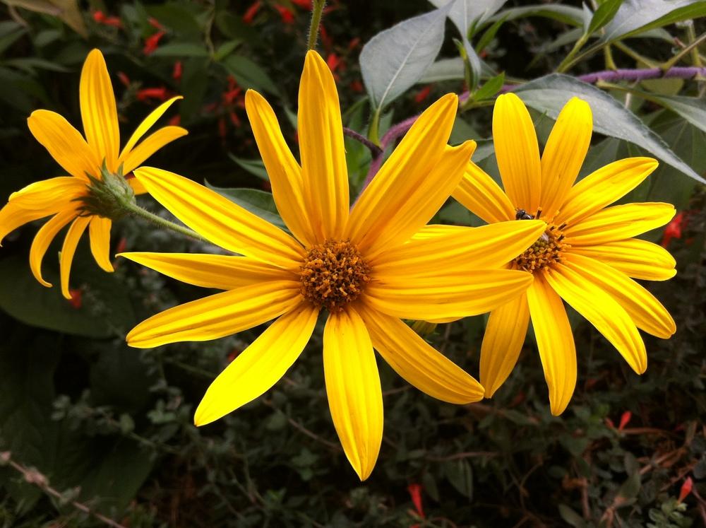 Indestructable jerusalem flowers always bloom the end of Sept.