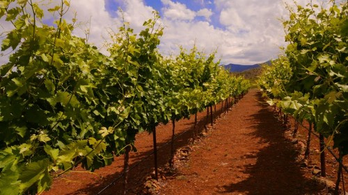 Verde Valley vineyard. Photo: Verde Valley Wine Festival