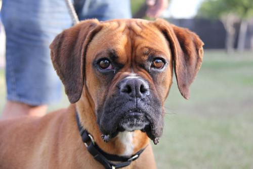 Zuki is in search of her 'furever' family. Image via Boxer Luv Rescue
