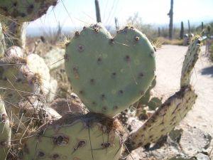 800px-Opuntia_Cactus_Heart
