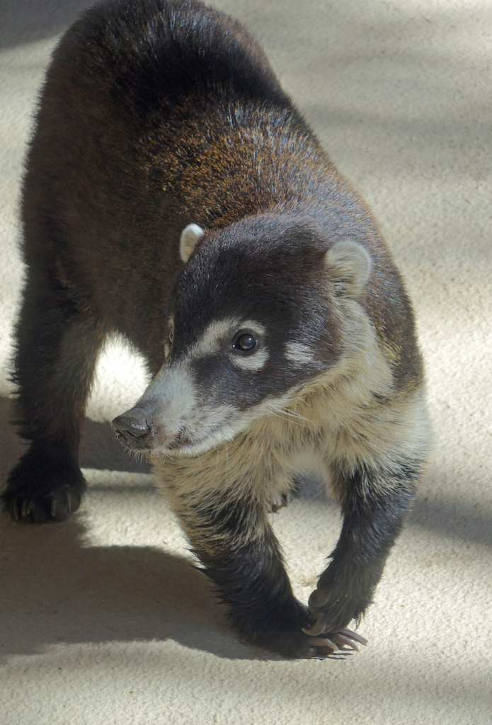 Coati on Pinal Mt. Photo by N. Pearson