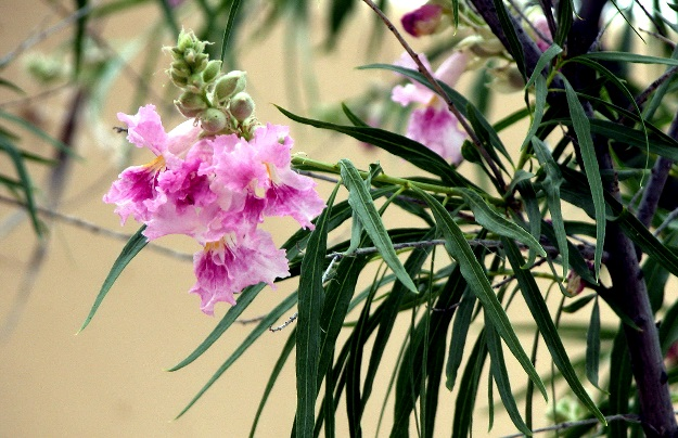 Desert Willow, from the Plant of the Month feature.
