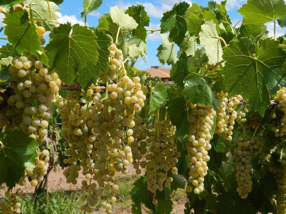 bruzzi grapes.jpg