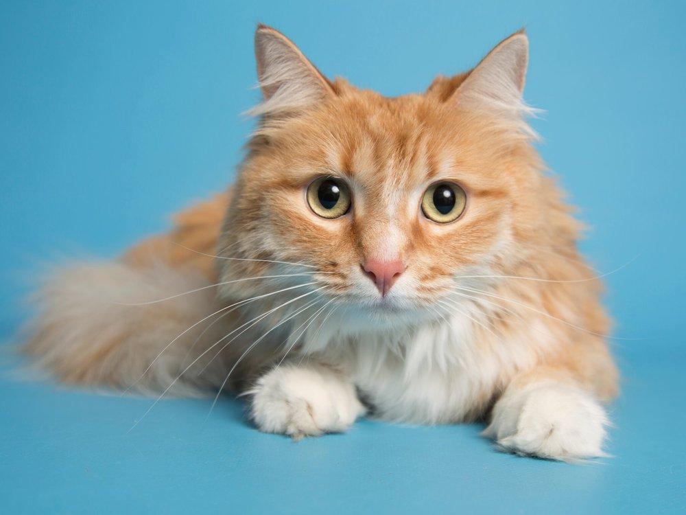 Orange Cat_preview.jpeg