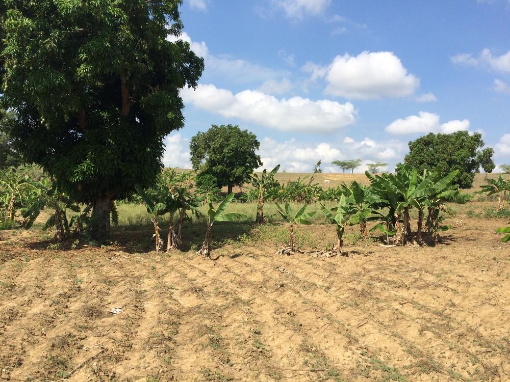 Mango, plantain trees, and cow at Lake Lawob.