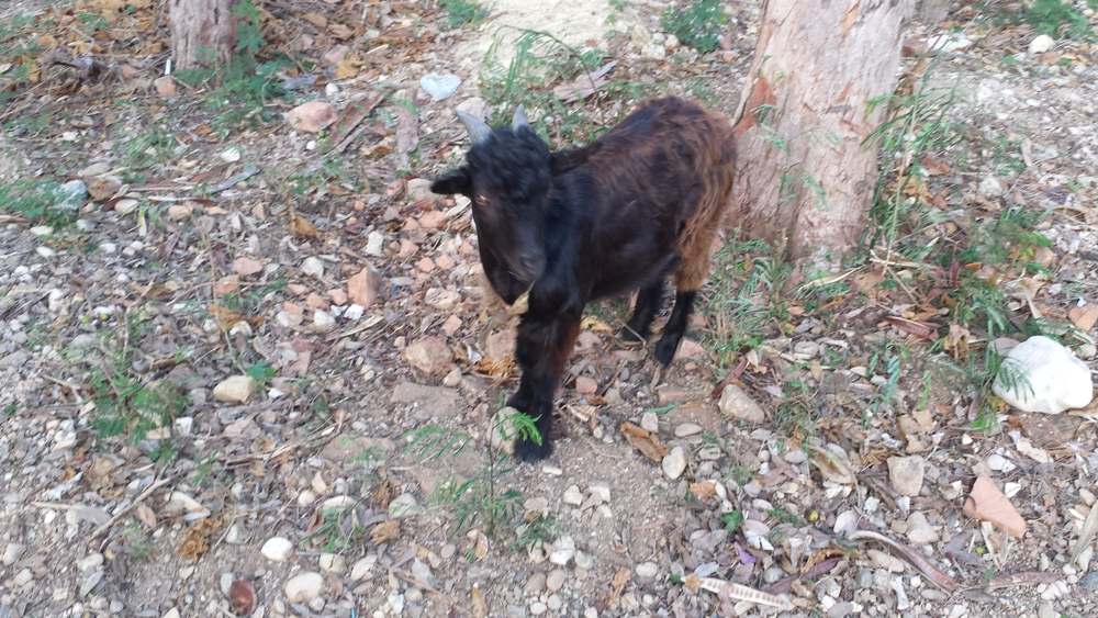 Insomniac goat