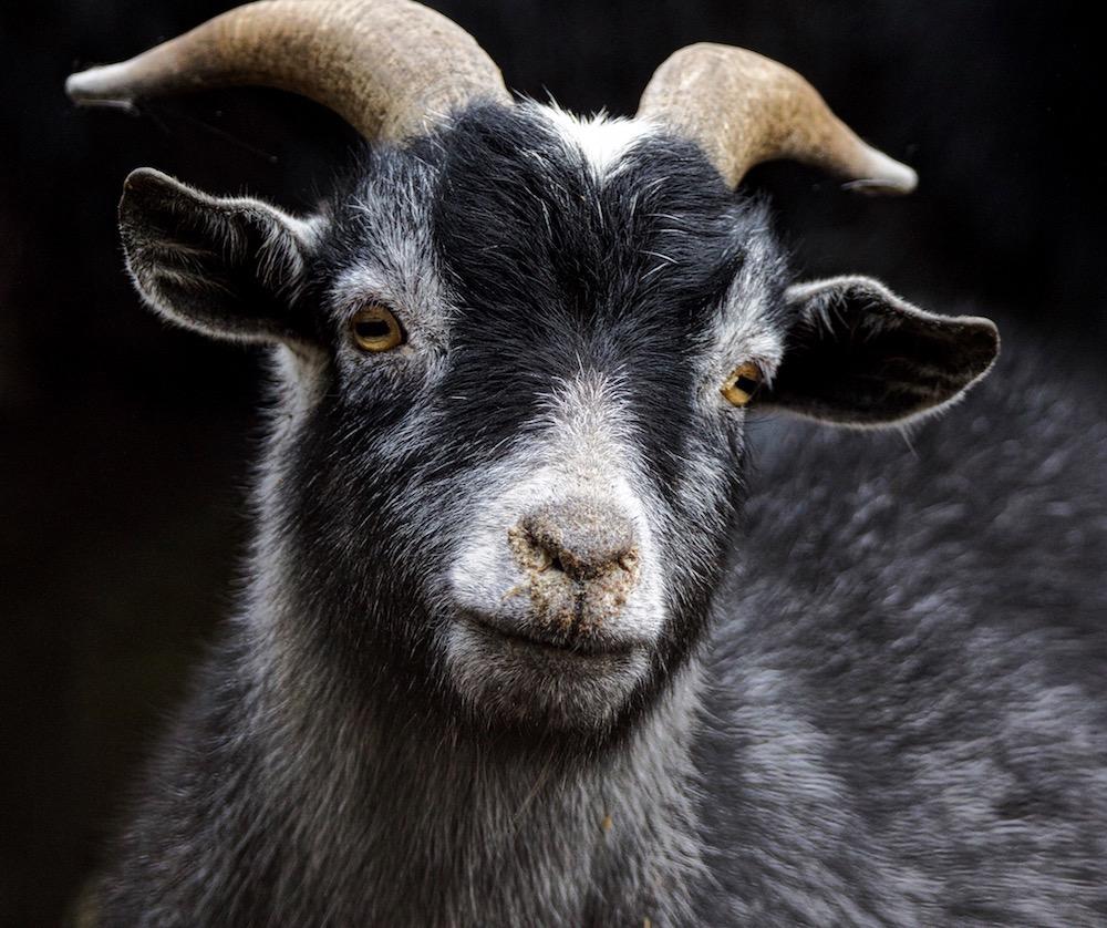 king_ Serene Pygmy Goat_11x14x1_$100_no.1.jpg