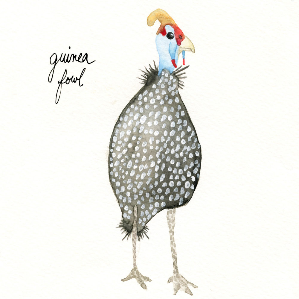 guineafowl.jpg