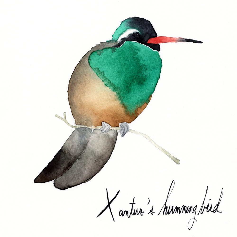 xantus'shummingbird.jpg